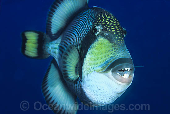 Queen Triggerfish Teeth Science Vs Natu...